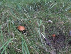 Красноголовцы (подосиновики) на лесной поляне