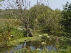 Сухая ольха в болоте