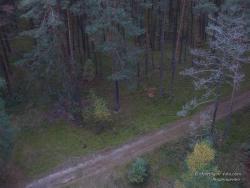 Вид на сосновый лес с пожарной вышки