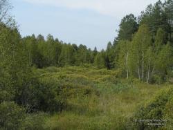 Заросшее болото в лесу