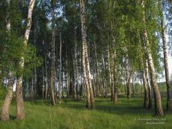 Редкий березовый лес