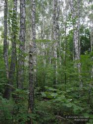 Заросший березовый лес