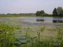 Желтые кувшинки на болоте