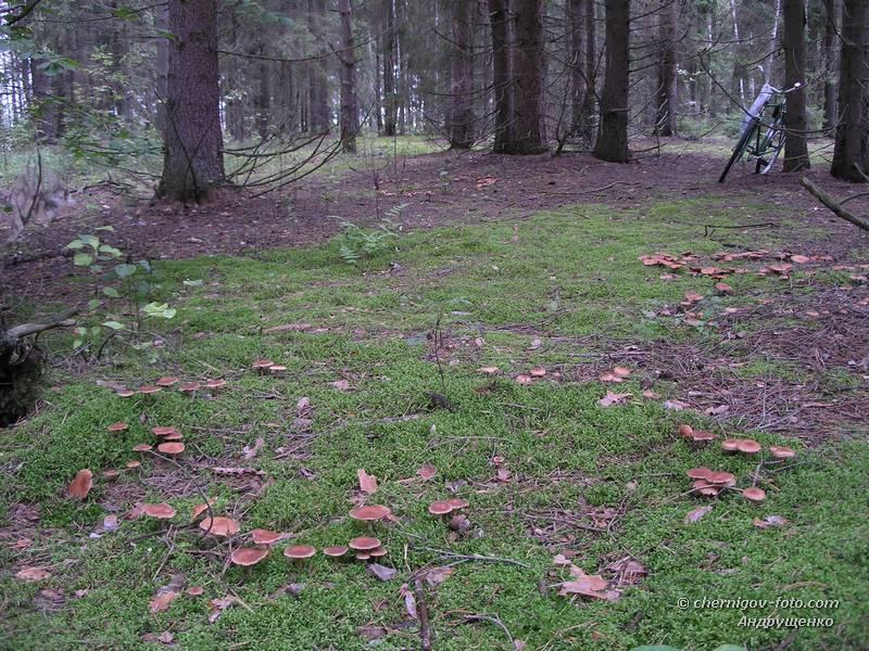 грибы в еловом лесу фото
