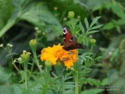 Бабочка Павлиный Глаз на цветке Бархатцев