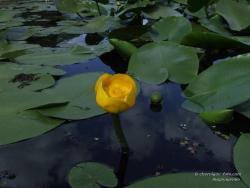 Желтая кувшинка