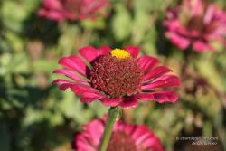 Цветок майор