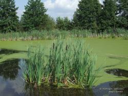 Куст рогоза широколистного в заболоченном озере