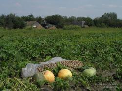 Тыква и картофель в огороде