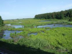 Болото с островками чистой воды у соснового леса