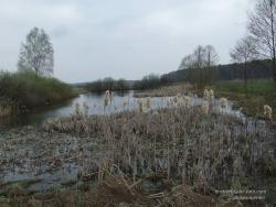 Прошлогодний рогоз на болоте в апреле