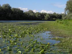 Цветение заболоченного озера Муромка