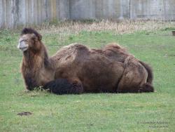 Верблюд в Менском зоопарке