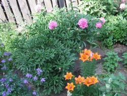 Пионы и лилии на цветнике