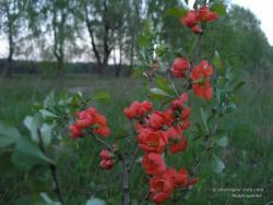 Красные цветы дерева