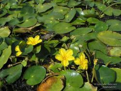 Водяные цветы в заливе Десны