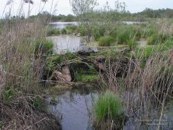 Бобровая хатка на болоте